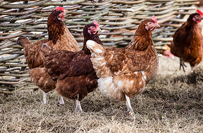 image of a hens