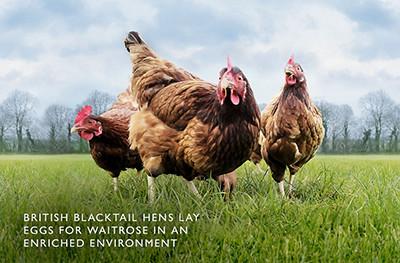 image of free range chickens