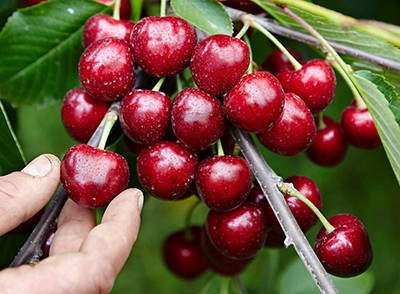 image of British cherries