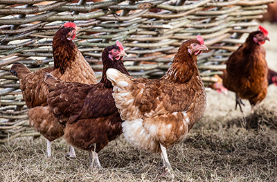 image of a blacktail hens