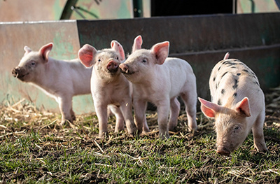 image of piglets