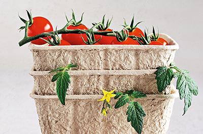 Plummet of tomatos