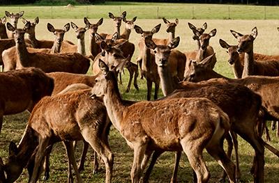 Deer in field