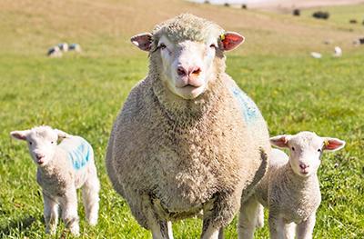 Lamb/Sheep in a field